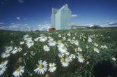 Daisy Field And Grain Elevators, Alberta, Canada — Foto Stock