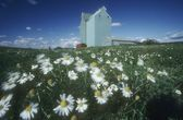 Daisy Field And Grain Elevators, Alberta, Canada — Stock fotografie