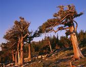 Bristlecone Pines, Mount Goliath Research Natural Area, Front Range — Foto de Stock