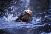 A Tufted Puffin Bathing At The Sea Life Center, Seward — Stock Photo