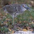 Stock Photo: Yellow Crowned Night Heron Eating Crab, Ding Darling National Wildlife Reserve