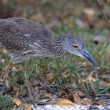 Stock Photo: Yellow Crowned Night Heron Hunting For Crabs, Ding Darling National Wildlife Reserve
