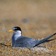 Stock Photo: Least Tern On Beach