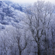 Stock Photo: Snow On Forest Trees, Black-Colored Trunks, Newfound Gap Road, Great Smoky Mountains National Park