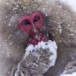 Stock Photo: Japanese Snow Monkey