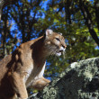 Stock Photo: Crouching Cougar On Boulder