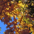 Autumn Leaves On A Tree — Stock Photo #31691541