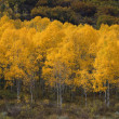 Stock Photo: Quaking Aspen Trees, Autumn