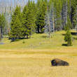 Wild Buffalo At Yellowstone National Park Wyoming — Stock Photo #31691659