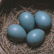 Robin (Turdus Migratory) Eggs In Nest — Stock Photo #31692153