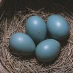 Robin (Turdus Migratory) Eggs In Nest — Stock Photo