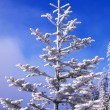 Stock Photo: Snow And Frost On Evergreen