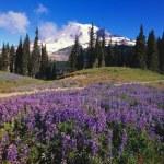 Lupine Wildflowers Blooming Near Mount Rainier — Stock Photo #31692407