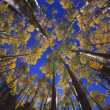Looking Up At Autumn Tree Tops — Stock Photo