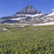 Glacier Lilies In Alpine Meadow, Reynolds Mountain In The Distance, Waterton Glacier International Peace Park — Stock Photo