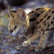 Crouched Serval Cat — Stock Photo #31692819