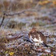 Willow Ptarmigan Sitting On The Snowy Autumn Tundra, Denali National Park — Foto Stock