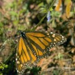 Monarch Butterfly — Foto Stock #31693005