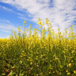 Stock Photo: Close-Up Of CanolPlants