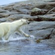 Stock Photo: Polar Bear Running Onto Shore