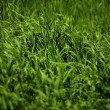 Stock Photo: Field Of Green Crop