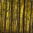 Stock Photo: Closeup Of Aspen Trees