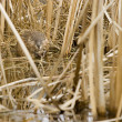 Stock Photo: Young Beaver In Nesting Ground