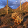 Cacti Landscape, Saquaro Cactus National Park Arizona U.S.A. — Stock Photo