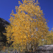 Stock Photo: Aspen Trees In Autumn