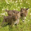 Stock Photo: Bobcat Kittens