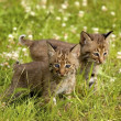 Bobcat Kittens — Stock Photo #31694789