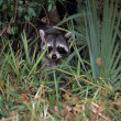 Stock Photo: Young Common Raccoon Hiding In Tall Grass
