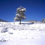 Pine Tree In Winter — Stock Photo