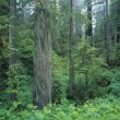 Stock Photo: Redwood Forest, California, Usa
