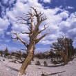 Old Gnarled Tree — Stock Photo #31695387