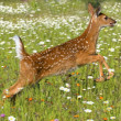 White Tailed Deer Fawn In Field Of Spring Flowers — Stock Photo #31695529