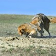 Stock Photo: Coyote And Badger Fight Over Prey