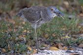A Yellow Crowned Night Heron Eating A Crab, Ding Darling National Wildlife Reserve — Stock Photo