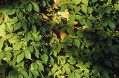 A Close-Up Of Leaves Of A Climbing Plant — Stock Photo
