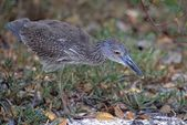 Yellow Crowned Night Heron Hunting For Crabs, Ding Darling National Wildlife Reserve — Stock Photo