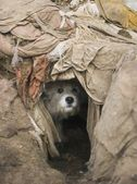 Dog Peeks Out Of Hole — Stock Photo