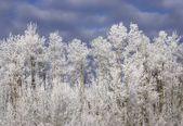 Mroźny drzew — Zdjęcie stockowe
