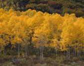 Quaking Aspen Trees, Autumn — Stock Photo