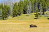 A Wild Buffalo At Yellowstone National Park Wyoming — Foto de Stock