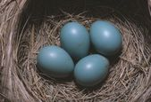 Robin (Turdus Migratory) Eggs In Nest — Stock Photo