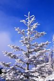 Snow And Frost On Evergreen — Stock Photo