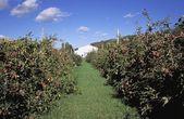 Rows Of Apple Trees — Stock Photo