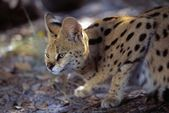 Crouched Serval Cat — Stock Photo