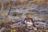 Willow Ptarmigan Sitting On The Snowy Autumn Tundra, Denali National Park — Stock Photo