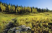 Larch Trees In Fall, Floe Lake, Kootenay National Park — Stock Photo